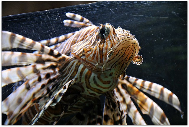 Fish with wings flickr photo sharing for Wings fish