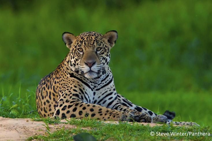 Jaguar resting in the Brazilian Pantanal