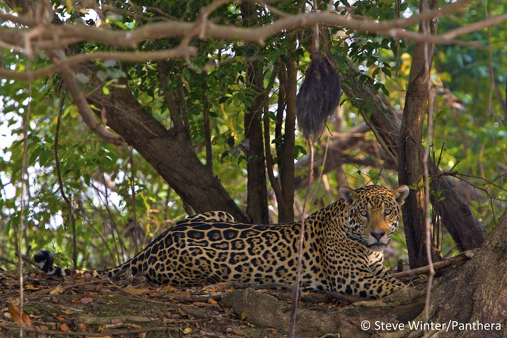 Jaguar resting near a riverbank - Brazilian Pantanal