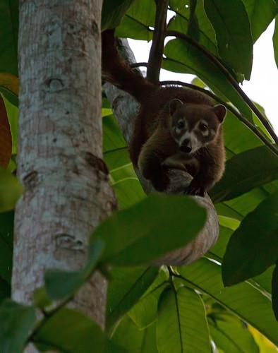 Koati (Nasua nasua)