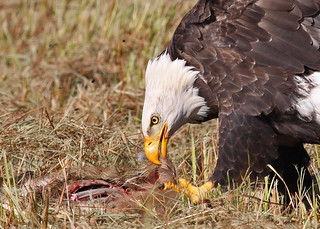 Bald Eagle Feeding
