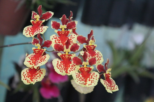 Tolumnia William Thurston 'Orchidglade'