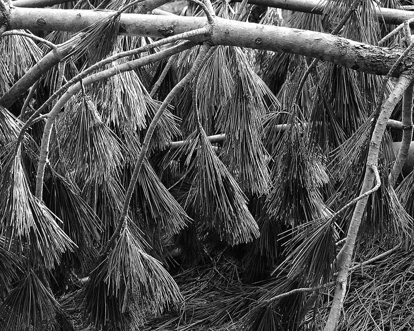 Fallen pine, Castle Crags, CA, Andrew D. Barron©4/21/10
