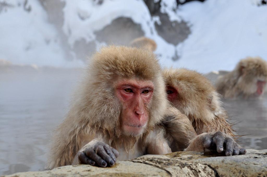 Jigokudani Wild Monkey Park