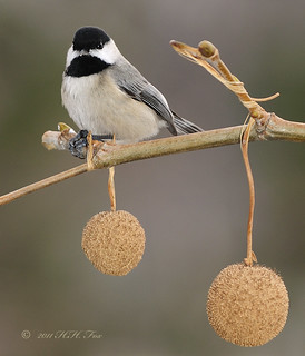 ~ Black Capped Chickadee in Sycamore Tree ~