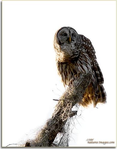 closeup parks 100400mm raptors owls professionalphotographer barredowl stateparks floridaimages lakekissimmee photoworkshops phototourguide