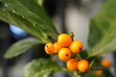 Chloranthus 千両
