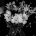 Alstromeria In Monochrome