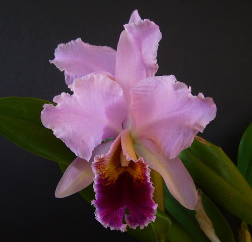 Cattleya percivaliana 'Fritz'