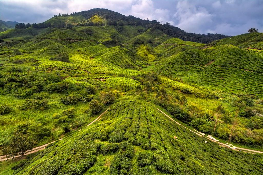BOH Tea Plantation - Cameron Highlands, Malaysia