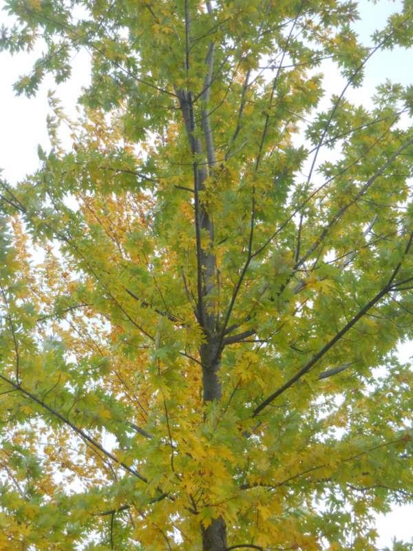 Acer saccharinum v 4