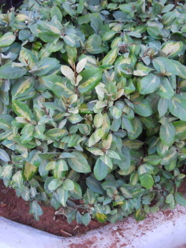 Elaeagnus pungens v 1