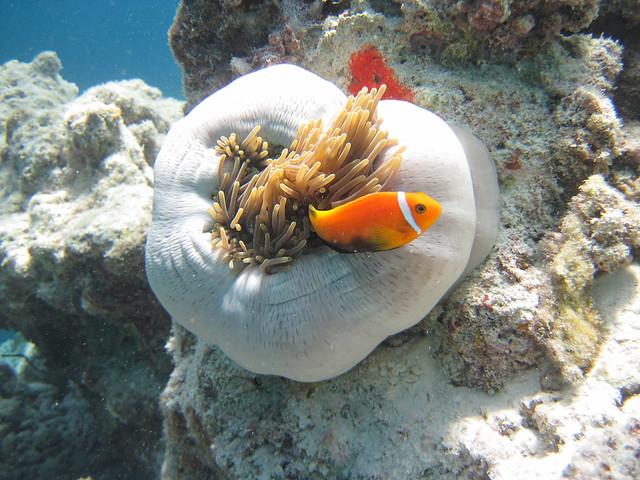 IMG_0875_Malediven-Anemonenfisch