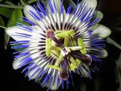 Blå passionsblomma