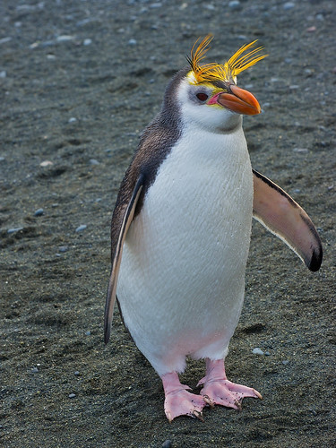 Royal Penguin by Robert Cave