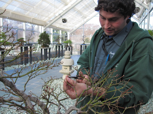Julian Velasco, BBG's bonsai curator. Photo by Rebecca Bullene.