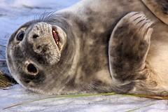 Seal - Donna Nook December 2010