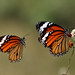STRIPPED TIGER BUTTERFLIES
