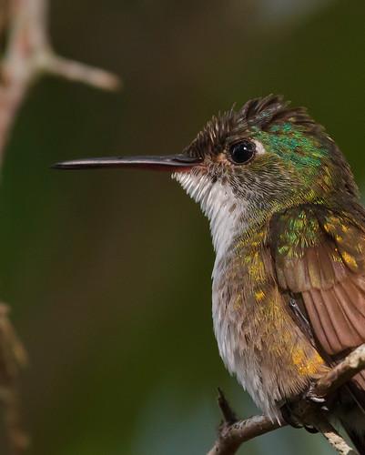 Azure-crowned Hummingbird (Amazilia cyanocephala) -  Azurkronad smaragd
