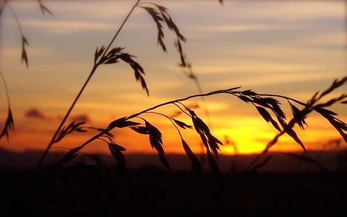 sunset newzealand orange macro grass silhouette closeup focus east gisborne