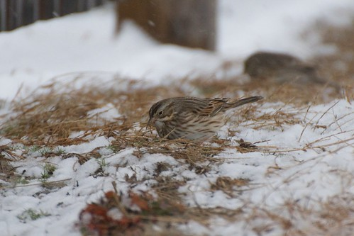 Ipswich Sparrow, Middletown, RI