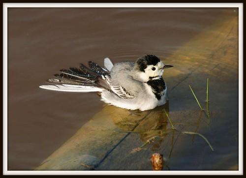 El baño de la lavandera - The bath - Motacilla alba - White Wagtail