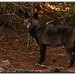 Florida Coyote - Lyonia Preserve, Deltona