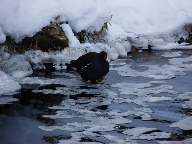 Moorhen on a partially frozen canal