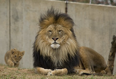 Smithsonian's National Zoo's Lion