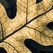 Microsorum pustulatum (hound's tongue) by Outdoorsman, environmentalist, Wellingtonian