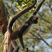 Central American Spider Monkey - Photo (c) B Mlry, some rights reserved (CC BY-NC)