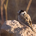 Black-crowned Sparrow-Lark - Photo (c) cesare dolzani, some rights reserved (CC BY-NC-SA)