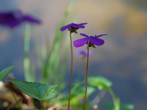 shade april12 violaceae jmichaelraby