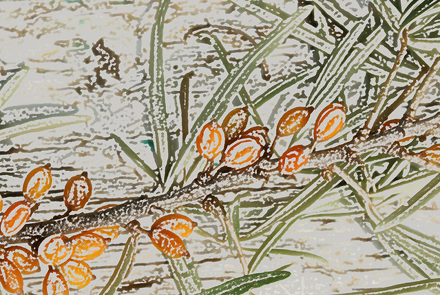 sea-buckthorn