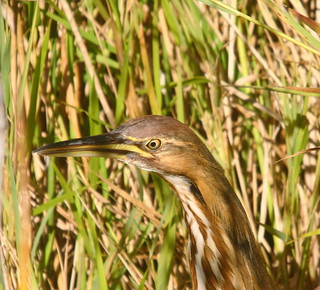 American Bittern close up