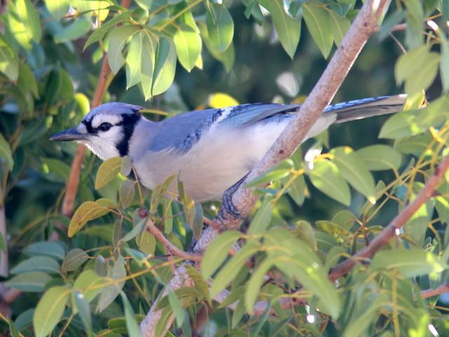 Blue Jay 20110131