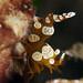 squat anemone shrimp / thor amboinensis by scubaluna