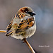 Male English Sparrow.