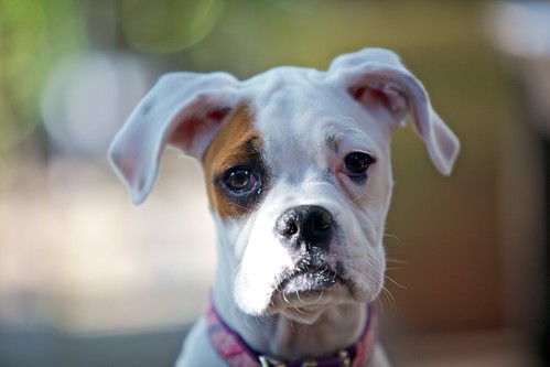 White Boxer Puppy
