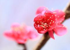 Ume / Prunus mume / 紅梅(こうばい)