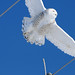Snowy Owl in Flight DSC_9631