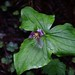 Small photo of Trillium ovatum