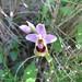 Ophrys tenthredinifera (Paul Harmes)