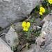 Viola demetria (Paul Harmes)