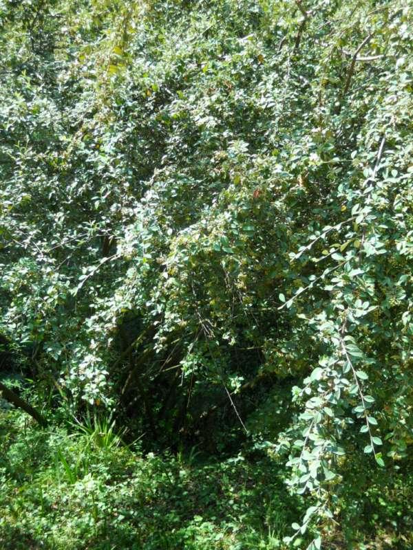 Cotoneaster pannosus v 2