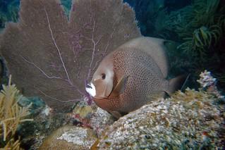 gray angelfish - Marathon, FL