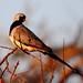 Small photo of Namaqua Dove (Oena capensis)