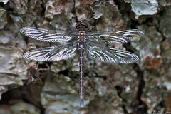 Emergence of a dragonfly