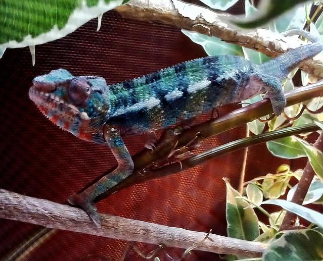 5517914187 fb7fc42c5c z jpgBaby Ambilobe Panther Chameleon