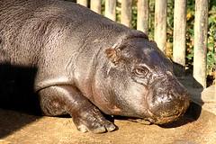 Pygmy Hippopotamus - 12